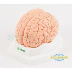 Mózg, 2 części - model