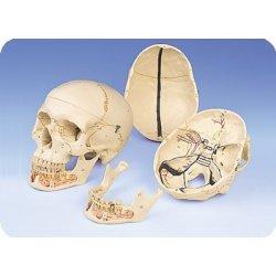 Czaszka człowieka z odkrytą dolną szczęką, 3 części