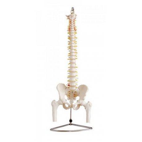 Kręgosłup z głowami kości udowych