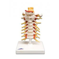 Model szyjnego odcinka kręgosłupa