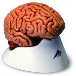 Mózg, 5 części