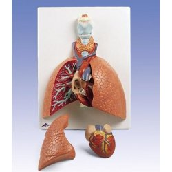 Płuca, 7 części