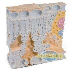 Liść - struktura