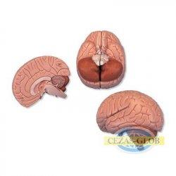 Mózg, 2 części
