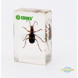 Biegacz - chrząszcz