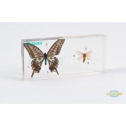Motyl i ćma - porównanie