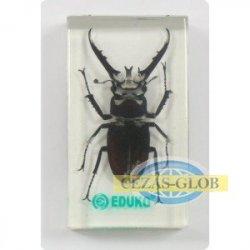 Jelonek B - chrząszcz